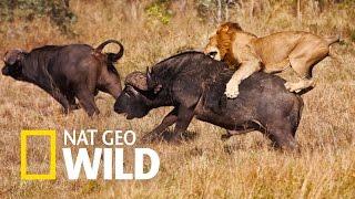 Zwierzaki w amoku - Zuchwalec i brutal: Bawół kontra lew