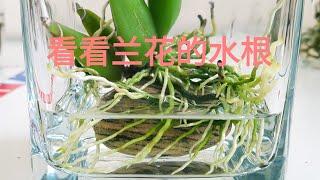 兰花水培-看看兰花的水根
