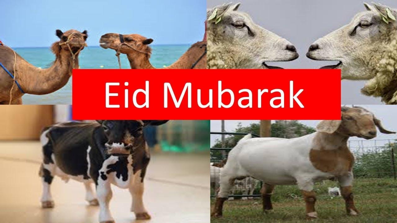 Eid greetings eid ul azha mubarak bakra eid mubarak from birds eid greetings eid ul azha mubarak bakra eid mubarak from birds fantasy kristyandbryce Choice Image