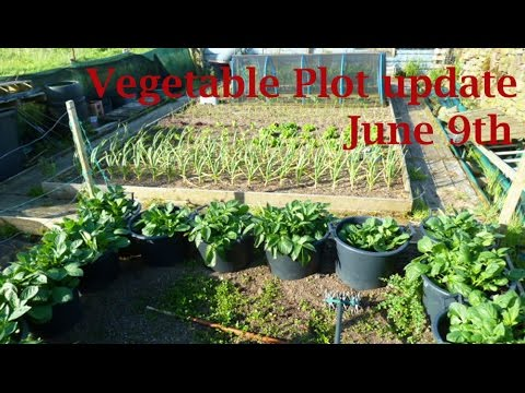 Allotment Diary : June 9 Vegetable plot, polytunnel & Giant Veg Gardening update