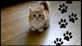 Кот манчин.