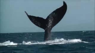 Доминикана: горбатые киты.