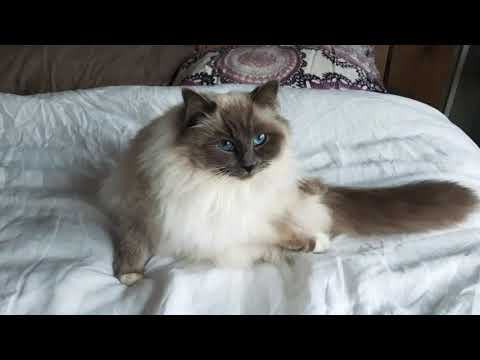 Sweet ragdoll cats Lizzy and Kyra lovely ♡ they are a bit crazy ! I love animals ♡