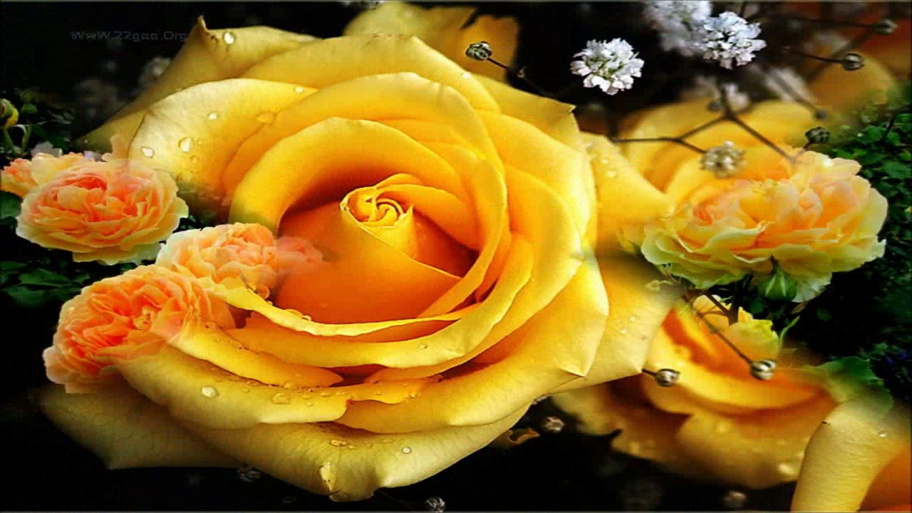 Yellow Gold Roses Flower Wallpapers , YouTube