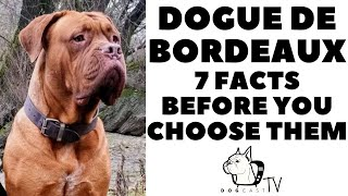Before you buy a Dog  DOGUE DE BORDEAUX  7 facts to consider!  DogCastTV!