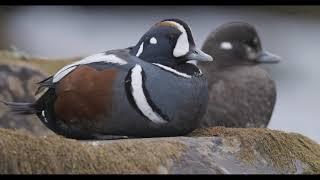 STRAUMENDUR - Harlequin Ducks