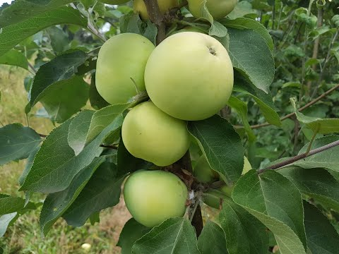 Ранний сорт яблока (30.06.2018)
