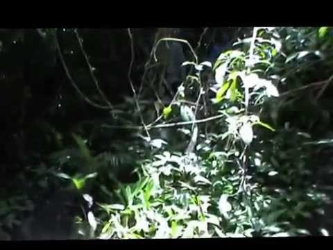 Inventarisasi Babirusa di Suaka Margasatwa Nantu Gorontalo