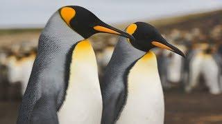 Красота королевских пингвинов