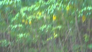 Mesum di pohon.singkong