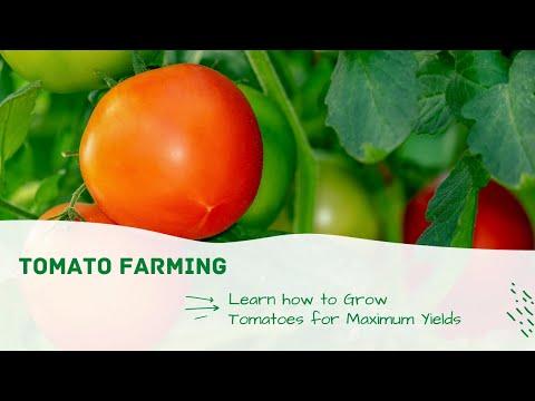 Mbinu za Kilimo kiswahili  Tomato Farming