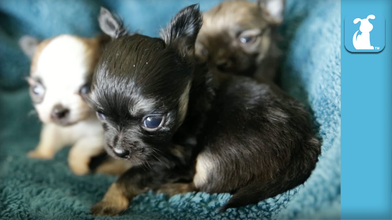chihuahua babys 14 day old chihuahua babies warm my heart puppy love 4763