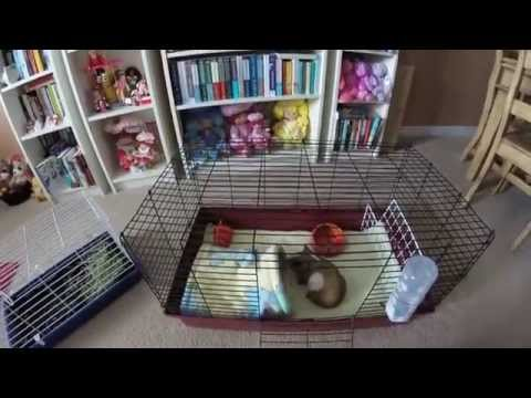 say-no-to-pet-store-cages!-guinea-pigs-require-more-space.