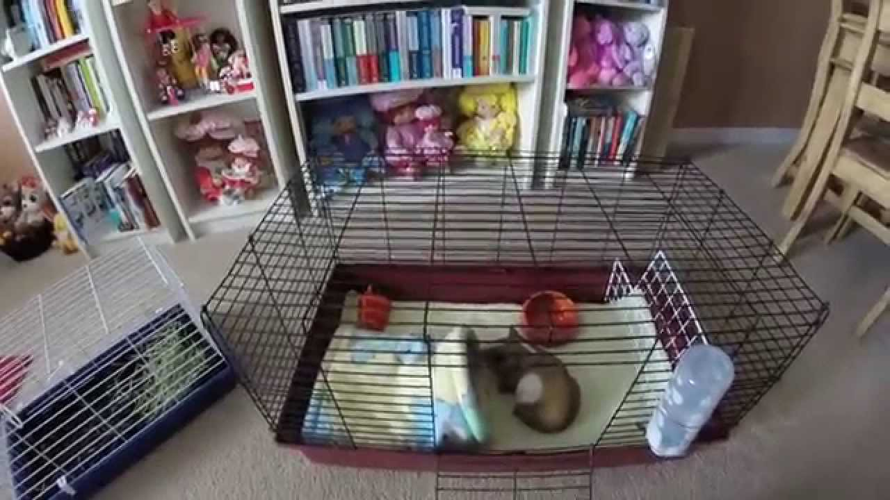 Say No To Pet Store Cages Guinea Pigs Require More Space