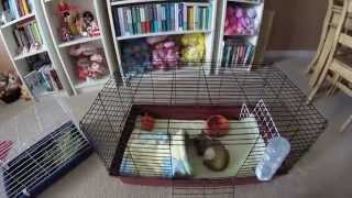 Say NO To Pet Store Cages! Guinea Pigs Require MORE Space.