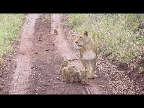 Female lion with her new cubs - vigilant and trying to keep her cubs safe!