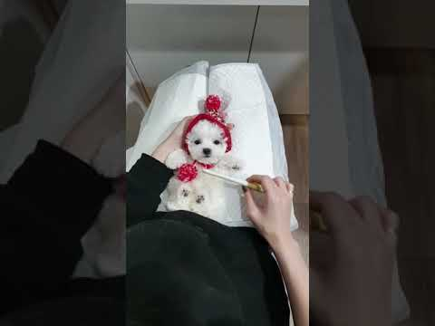 A baby mini bichon frise grooming video cutest puppy video - Teacup puppies