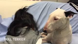 Bull Terrier End Baby