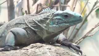Juvenile Grand Cayman Blue Iguana