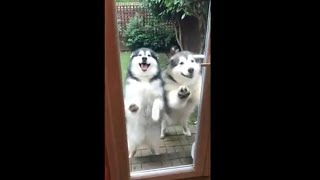 When alaskan malamutes ATTACK! (with affection)