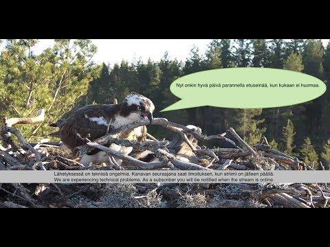 Satakunnan sääkset (Osprey Cam in Finland) - #sääksilive