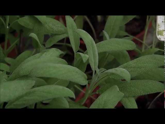 Herbs at the Sungai Buloh nursery