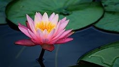 Secret Symbolism of the Lotus Flower: You are The Lotus Flower. Overcome.