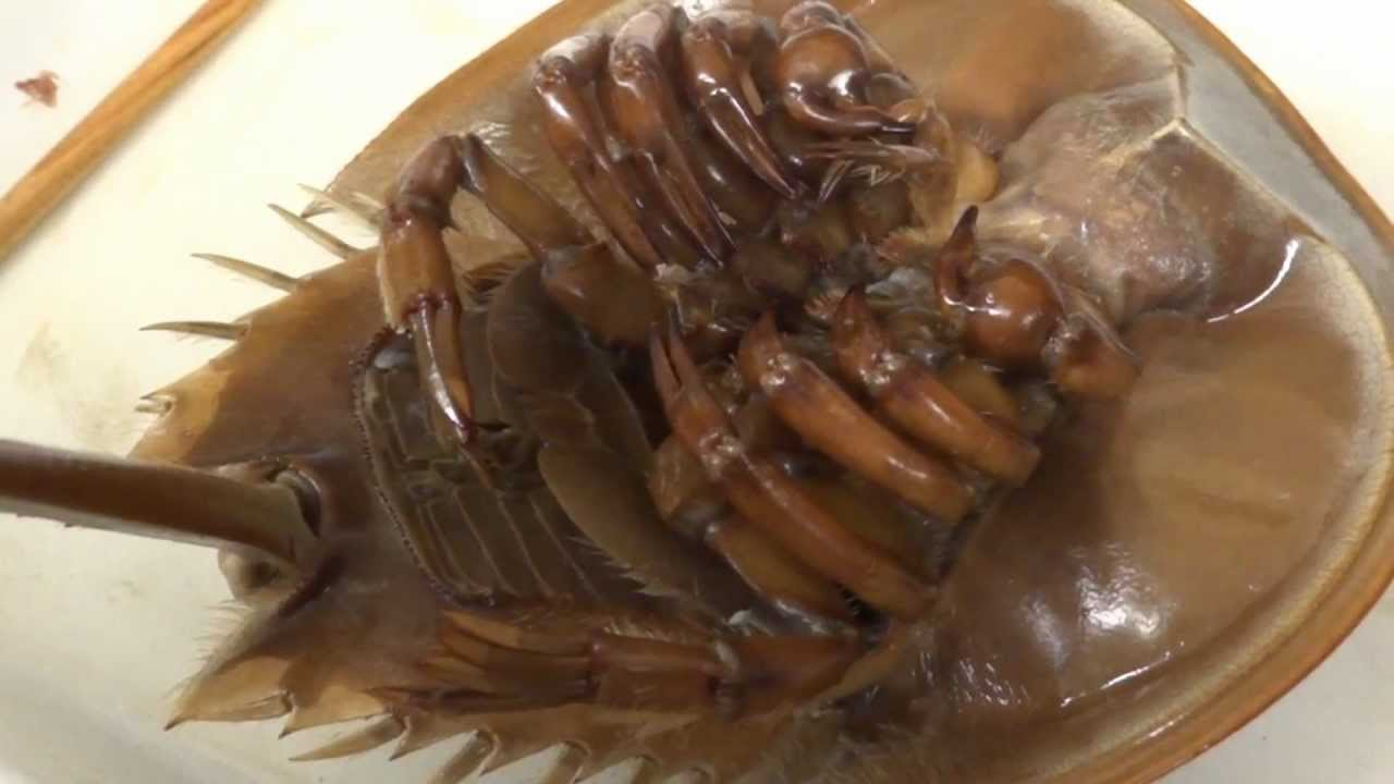 Horseshoe Crab - YouTube