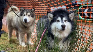 PHIL & NIKO GO TO SLED DOG RALLY AVIEMORE 2019