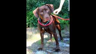 Vince, A 1-1/2- To 2-year-old Chocolate Lab/pit Bull Mix For Rescued In Manahawkin, Nj