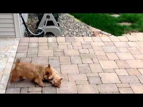 Norwich terrier loves her kitties