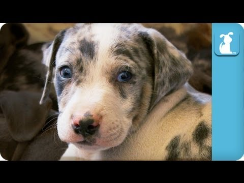 Louisiana Catahoula Leopard Puppies Puppy Love Youtube