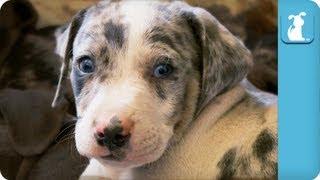 Louisiana Catahoula Leopard Puppies - Puppy Love
