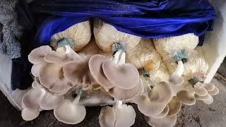 MẸ NẤM tự tay chăm sóc nấm bào ngư trồng tại nhà I Cách Trồng Nấm Bào Ngư