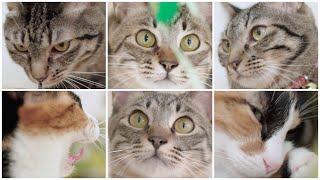 NyankuruTV Vol.11  にゃんくるTV Vol.11 【かわいい猫カフェ/保護猫】【Cute Cat Cafe】