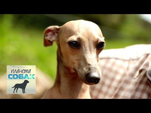 Левретка. Планета собак 🌏 Моя Планета