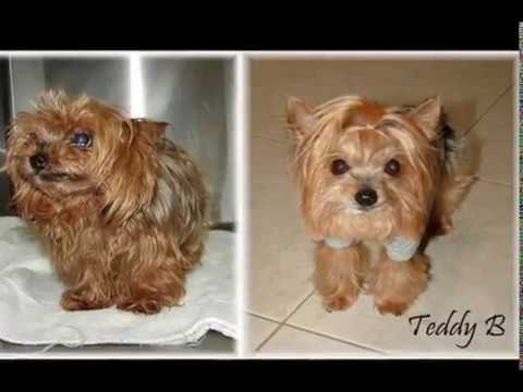 Florida Yorkie Rescue Transformations Youtube