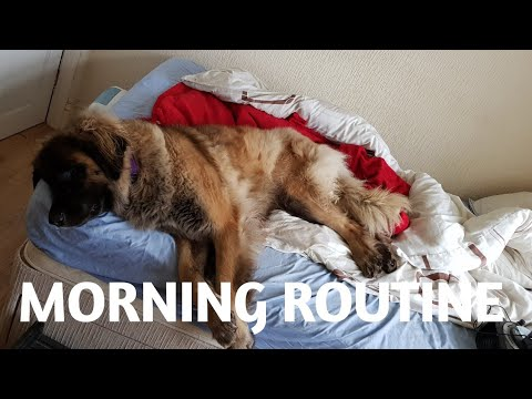 MORNING ROUTINE WITH MY LEONBERGER DOG #leonberger  #dogvlogs #animals