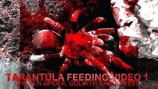 Tarantula Feeding Video #1 - Inc. Chicken Spider, Goliath Baboon+ Crazy Extras