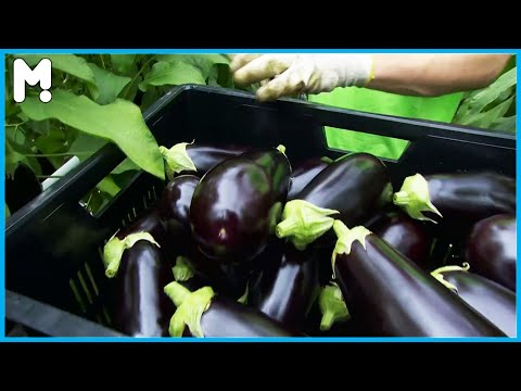 🍆 Greenhouse Eggplant Farming & Harvesting – Eggplant Growing Cultivation Agriculture Technology ▶30