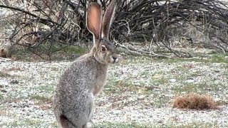 Jack Rabbit in Hellhole Canyon