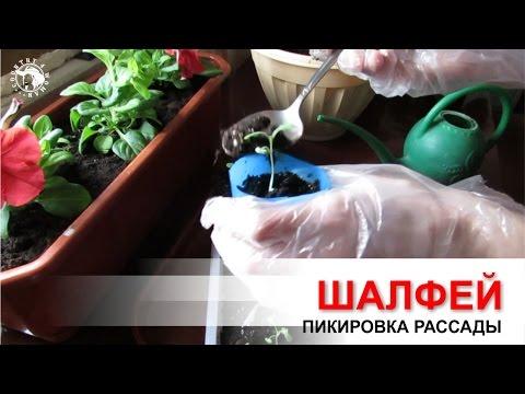 Шалфей лекарственный (Salvia officinalis)   Сайт о травах