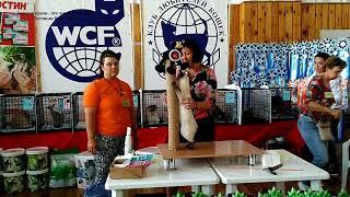 Калиостро на WCF-ринге на выставке кошек Котомир-шоу 2017 Новосибирск занял 2-е место из 27 участник