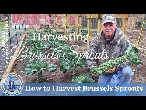 HD How to Harvest Brussels Sprouts