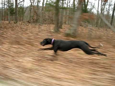 Great Dane running 30mph fast from the side.