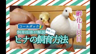 ★【飼育技師が解説】コールダックヒナの飼育方法  孵化1日目