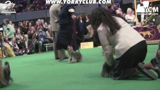 Westminster Yorkshire Terrier Show 2010 - Part 1