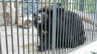Спаривание бурого медведя в зоопарке...