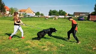 1 Belgian Groenendael vs 4 Belgian Malinois Training Dogs for Personal Protection Poland 9 maja 2020