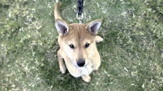Lapd Receives Jindo Pups For Police Training
